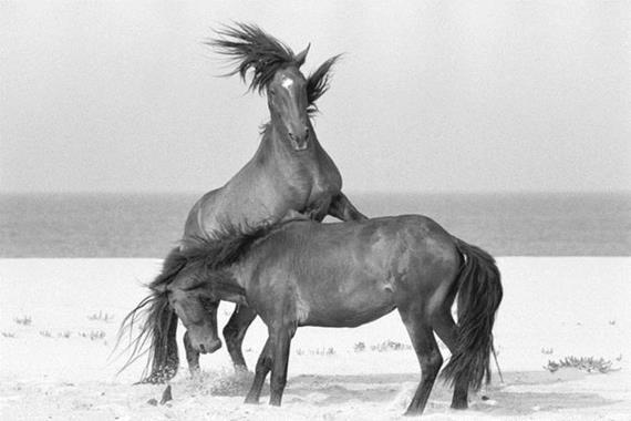 коні острова Сейбл