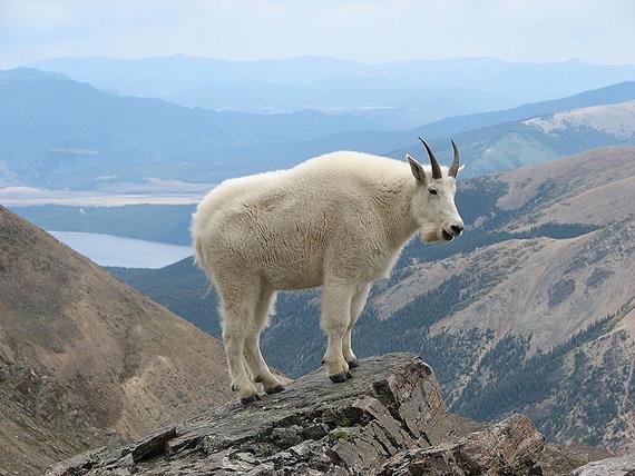 Снігова коза